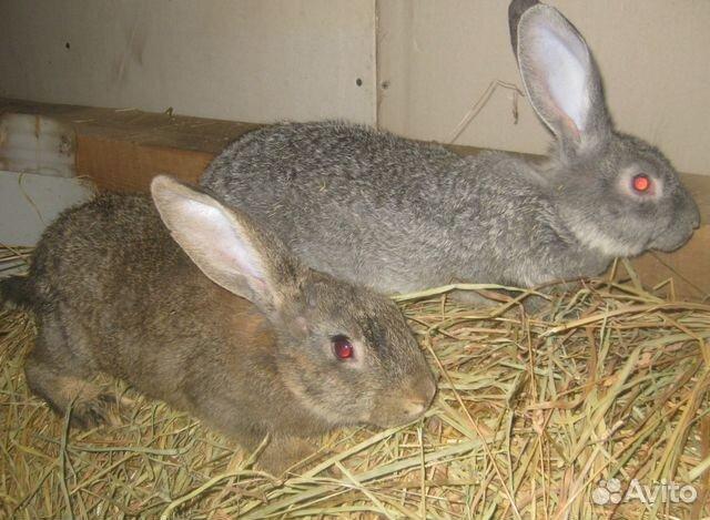 Кролики 89522573801 купить 1