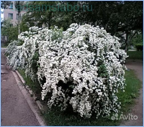Cаженцы спиреи купить на Зозу.ру - фотография № 2