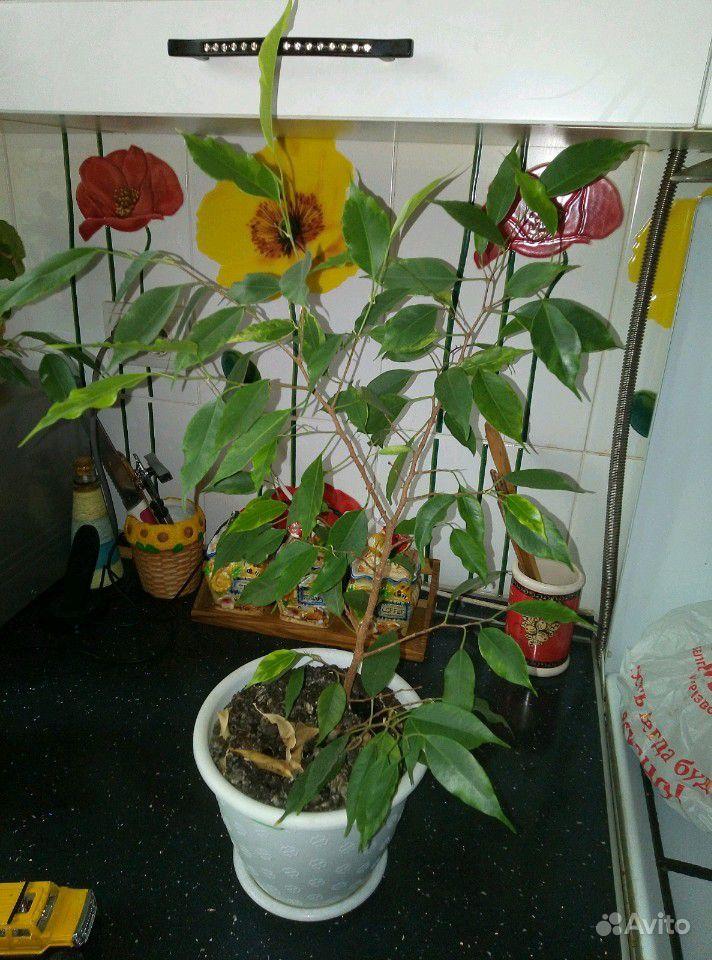 Комнатные растения купить на Зозу.ру - фотография № 3