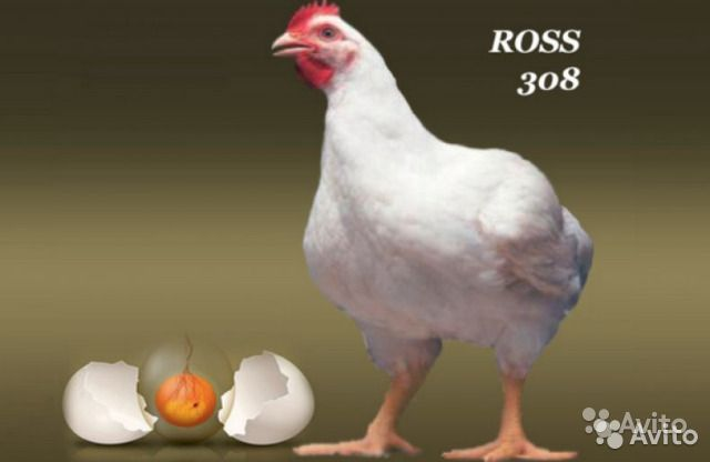 """Цыплята бройлера """"Росс-308"""""""
