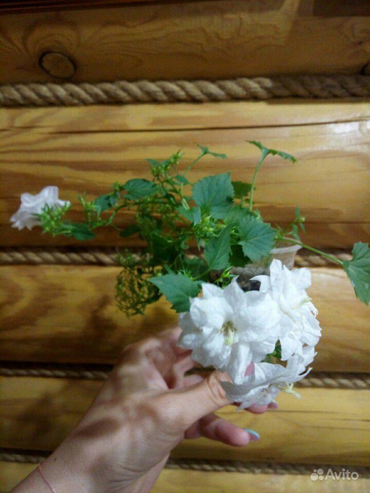 Кампанула. Жених и невеста купить на Зозу.ру - фотография № 7