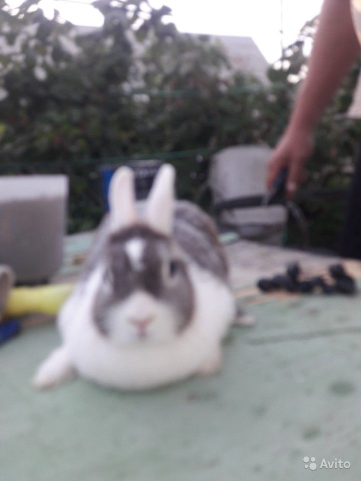 Продам двух декоративных кролика. две девочки по 4
