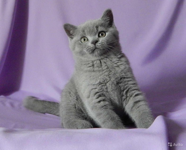 Британские котята в классических окрасах - фотография № 3