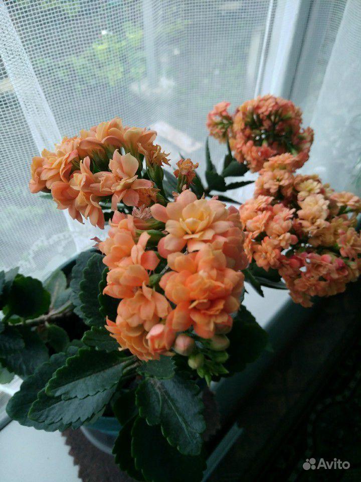 Каланхоэ цветущий купить на Зозу.ру - фотография № 4