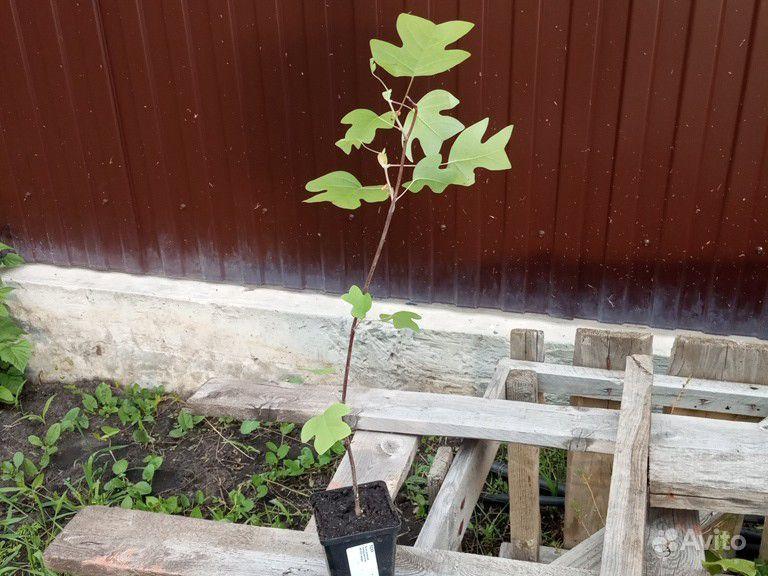 Тюльпановое дерево или Лириодендрон купить на Зозу.ру - фотография № 2