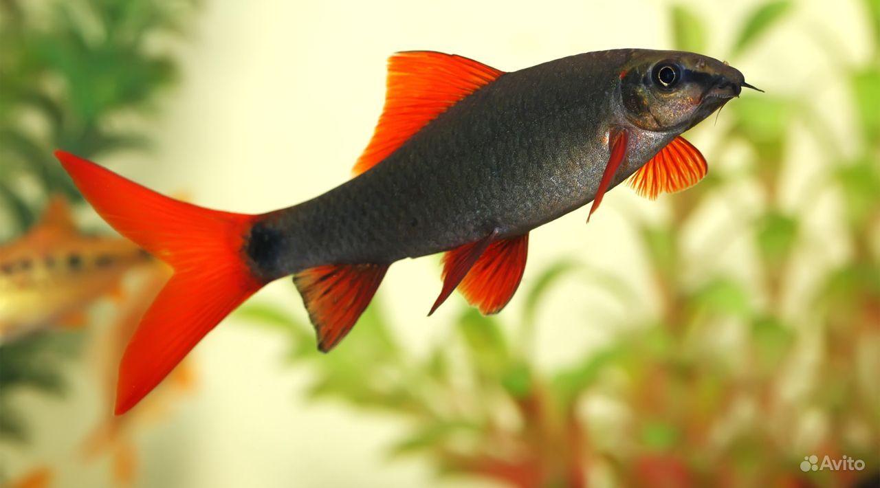 Рыбка Лабео зеленый купить на Зозу.ру - фотография № 1