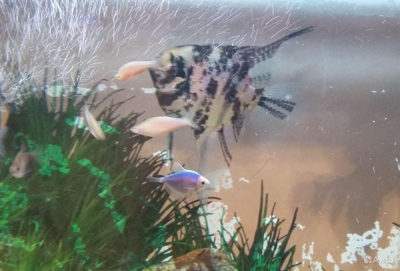 Рыбка Скалярия отдам купить на Зозу.ру - фотография № 2