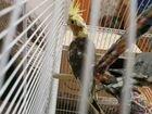 Попугай карелла мальчик