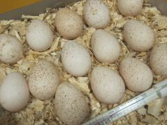 Инкубационное яйцо сев-кавказ. индюшка Зеленоград
