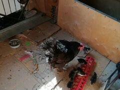 Курица с цылятам Австралорп мясояичная порода кур