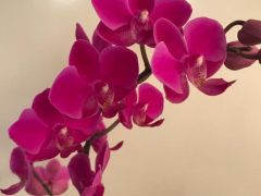 Орхидея фаленопсис на заказ