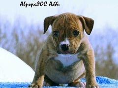 Продам щенков Американского питбультерьера
