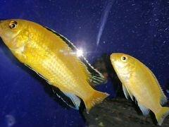 Рыбы. Цихлиды