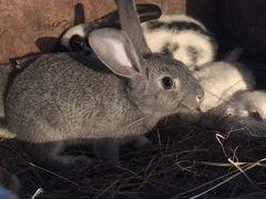 Продам кроликов 1,5 месяцев