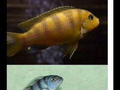 Рыбки цихлиды псевдотрофеус ломбардо малави африка