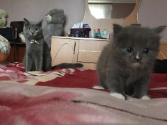 Отдам в добрые руки шотландского котенка