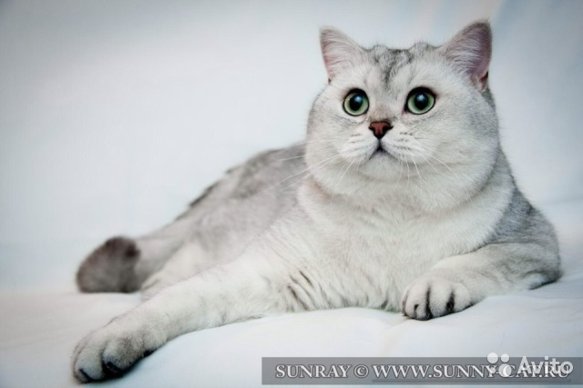 Вязка британский кот авито