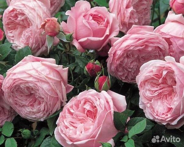 Саженцы розы остина купить
