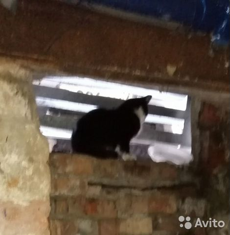 Найден котенок, черно-белый биколор смокинг купить 2