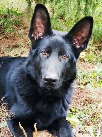 Подрощенный щенок купить на Зозу.ру - фотография № 5