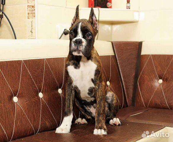 Интересный щенок боксера купить на Зозу.ру - фотография № 2