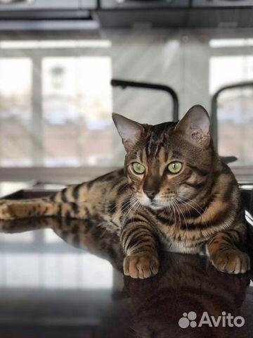 Бенгальский котик вязка  купить 8
