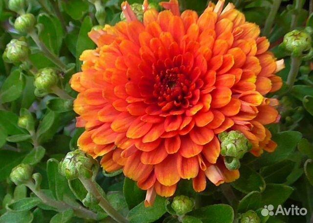 Хризантемы  89806766903 купить 3