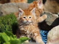 Красные мраморные кошечки и котики