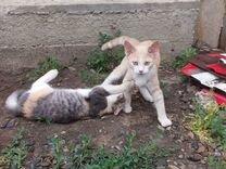 Котята от вислоухой шотландки