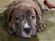 Продам щенка ам.стаф.терьер — Собаки в Геленджике