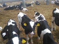 Кфх продает телят бычков мясной породы И телочек