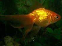 Золотые рыбки- Вуалехвост и другие