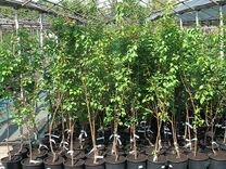 Плодовые деревья в горшках