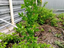 Ежевика садовая