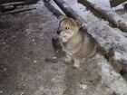 Западно-сибирская лайка (щенок)