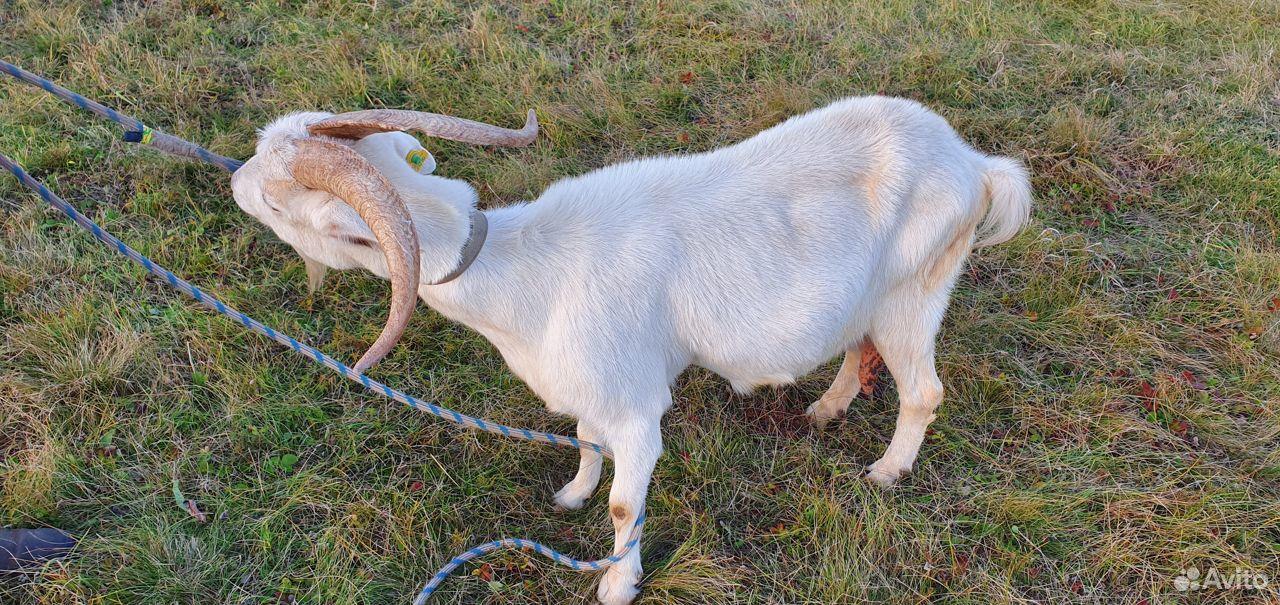 Племенные козлы. Дойные козы. Молодые козы  89872577673 купить 2
