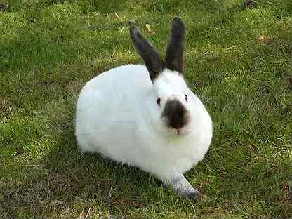 Кальфорнийский крол на племя