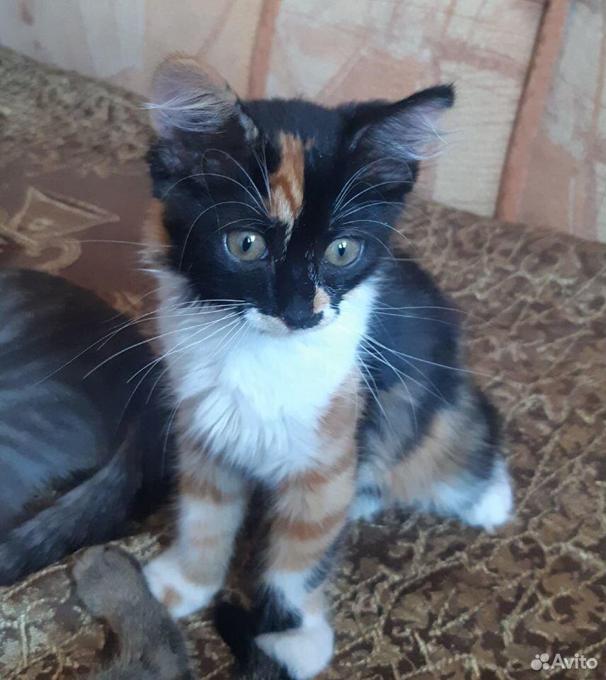 Котята две сестры и братик  89107128313 купить 7