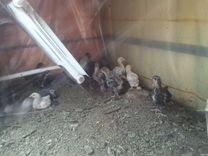 Цыплята и утята