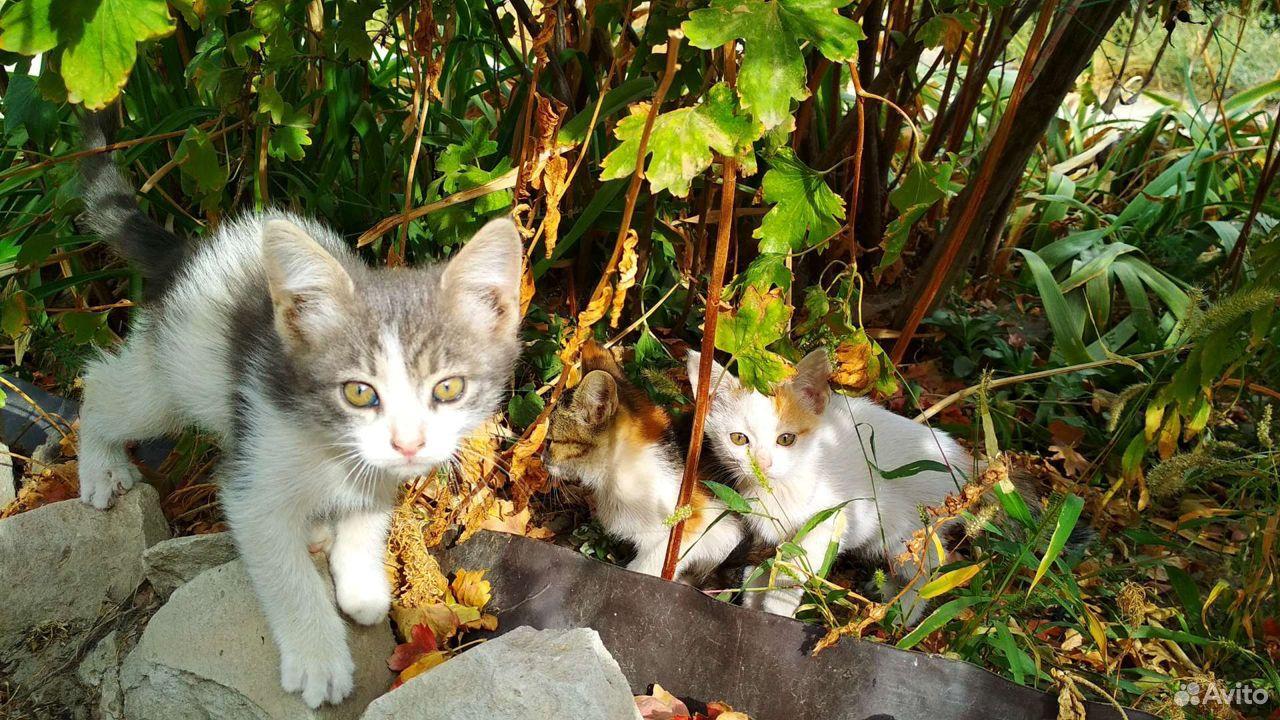 Котята, 5 очаровашек  89173308243 купить 2