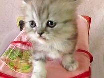 Продаю персидских котят