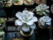 Суккулент Эхеверия Лау (Echeveria laui)