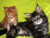 Котята мейн кун из домашних условий
