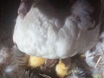 Утята Мускусной утки. Индоутята