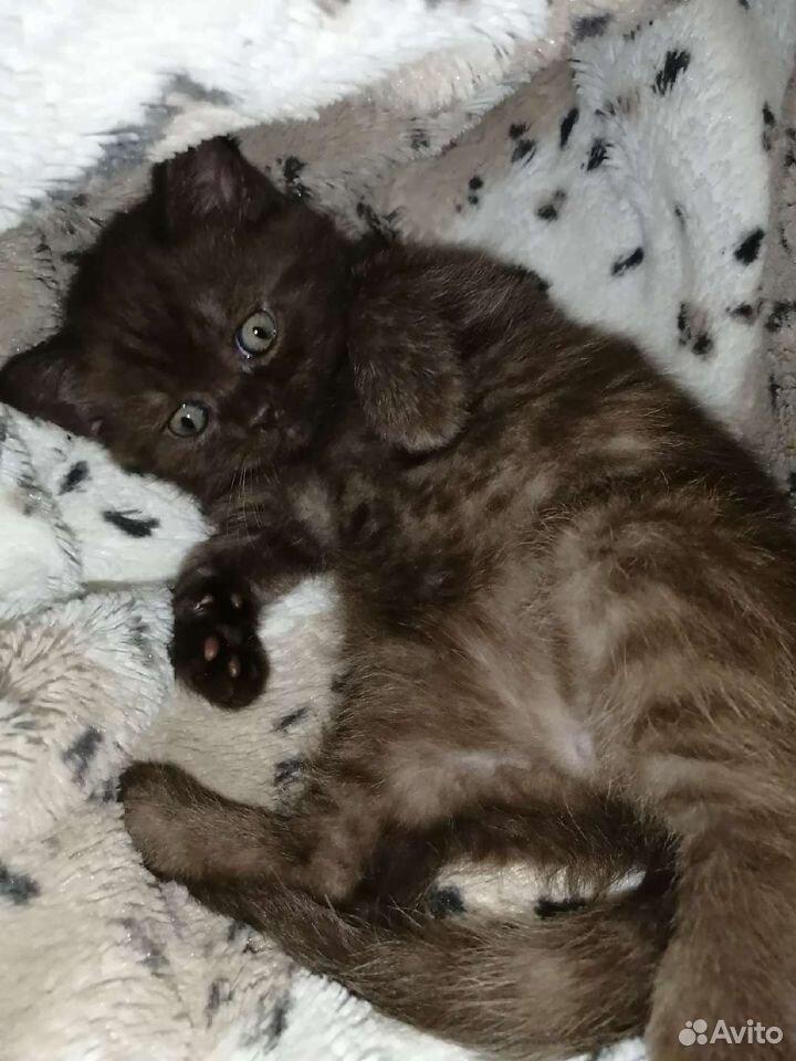 Шотландские котята  89525321477 купить 3