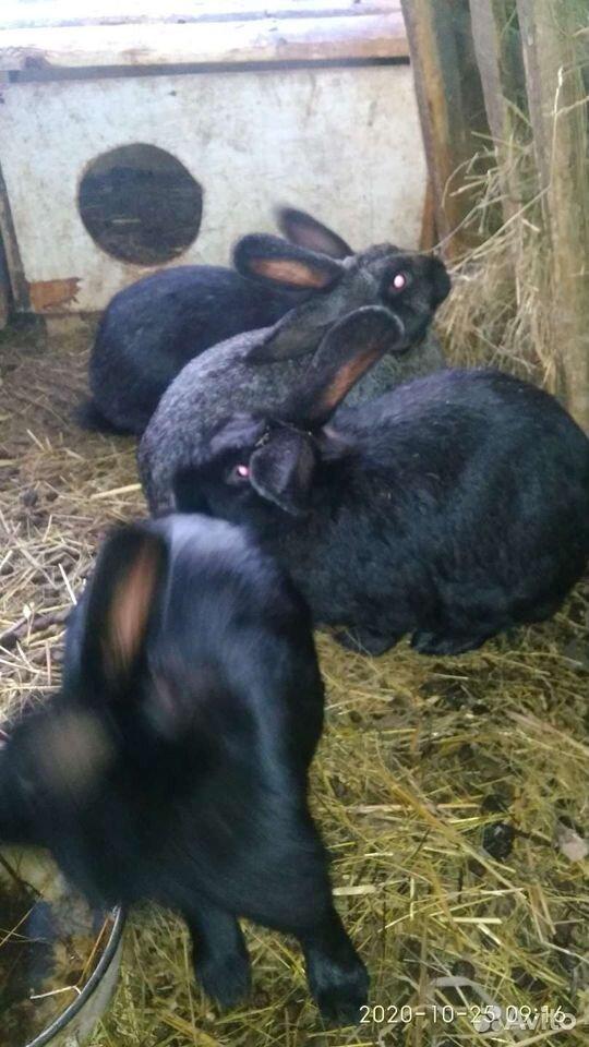 Кролик  89835018830 купить 3