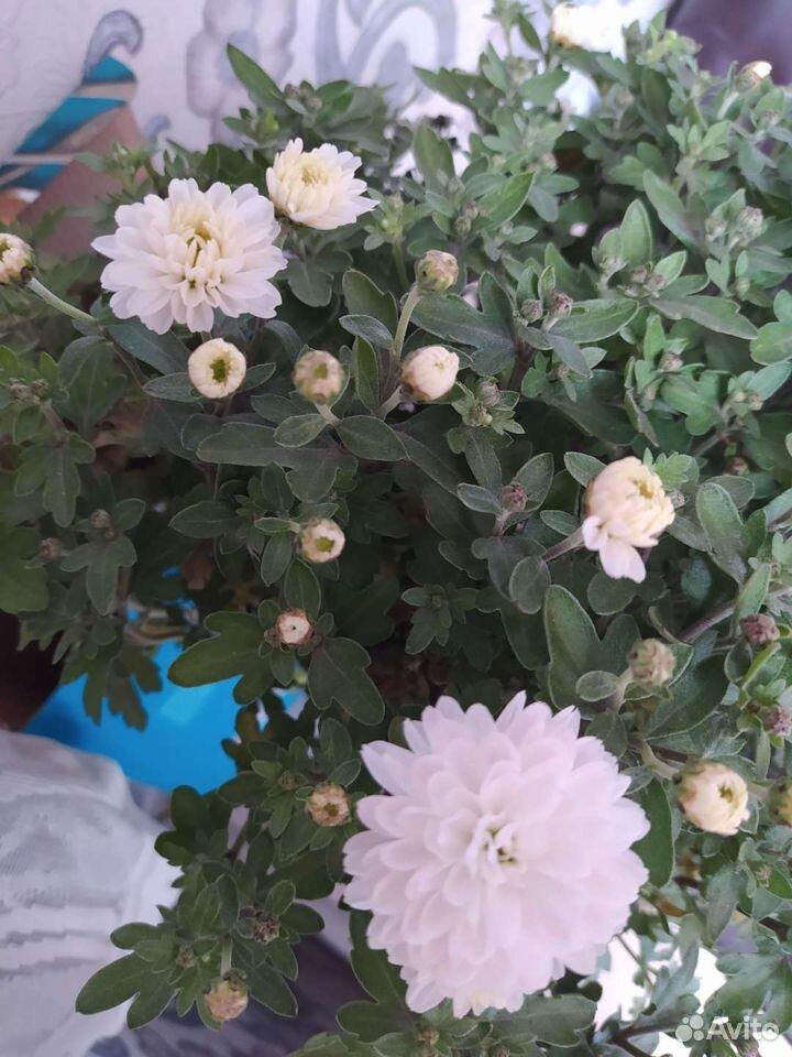 Мультифлора хризантема