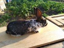Продам кроликов немецкий пестрый строкач,нзк
